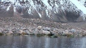 O urso polar vai na costa rochosa no gelo desolado da tundra em Svalbard filme