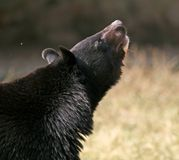 O urso preto asiático olha acima Fotografia de Stock Royalty Free