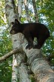 O urso preto novo (Ursus americano) está no ramo Fotos de Stock Royalty Free
