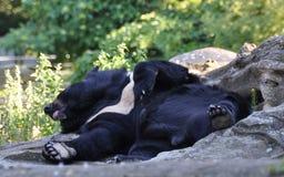 O urso preto relaxa Foto de Stock