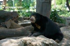 O urso preto senta e inclina e abre a boca na rocha fotografia de stock royalty free
