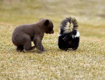 O urso preto (Ursus americano) encontra jaritataca listrada - borrão de movimento fotografia de stock