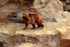 O urso selvagem no jardim zoológico Fotos de Stock
