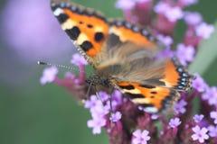O urticaria da borboleta senta-se no heliotrópio da flor Foto de Stock