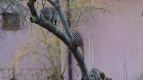 O vídeo de HD do mangusto Banded escala a árvore O mangusto unido é um mangusto encontrado geralmente no central e oriental vídeos de arquivo