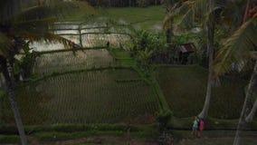 o vídeo do voo da vista 4K aérea de pares novos da lua de mel com o cão pequeno na selva da ilha de Bali, arroz coloca tropical filme