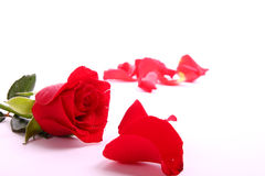 O Valentim vermelho levantou-se Fotos de Stock Royalty Free