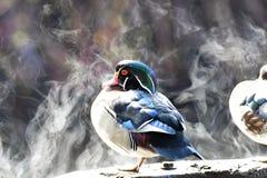O vapor do pato de madeira da placa aquecida pela luz solar foto de stock