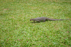 O Varan (lagarto) na grama Foto de Stock Royalty Free