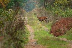 O veado vermelho atravessa o trajeto de floresta Imagem de Stock