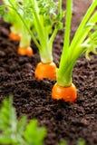 O vegetal da cenoura cresce no jardim no backgro orgânico do solo imagem de stock