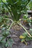 O vegetal de raiz do aipo cresce na terra Fotografia de Stock
