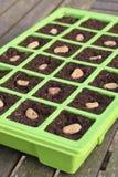 O vegetal semeia o close up da bandeja Imagens de Stock