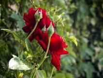 O veludo vermelho aumentou e as flores fotografia de stock royalty free