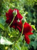 O veludo vermelho aumentou e as flores fotografia de stock