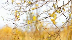 O vento agita as folhas do amarelo do outono video estoque