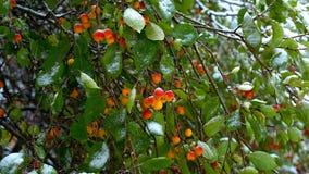 O vento agita as folhas verdes das maçãs do paraíso cobertas com a neve video estoque