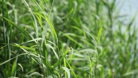 O vento agita a grama verde video estoque