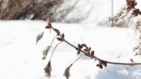 O vento agita o cocklebur seco do ramo espinhoso video estoque