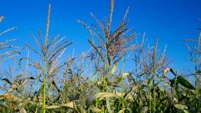 O vento agita panicles em hastes do milho contra o céu azul video estoque