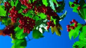 O vento agita ramos do viburnum vermelho contra o céu azul vídeos de arquivo