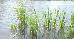 O vento balança as folhas verdes do bastão iluminadas pelo sol na lagoa filme