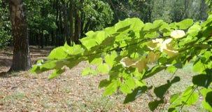 O vento balança o ramo verde da árvore de Linden iluminado pelo sol vídeos de arquivo