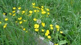 O vento bate flores amarelas do prado do acris do ranúnculo entre a grama da mola e os dentes-de-leão altos - 27s vídeos de arquivo