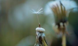 O vento soprou afastado as sementes Flor do Taraxacum na paisagem da natureza Natureza do verão Planta de florescência Belezas da imagem de stock