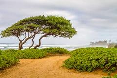 O vento varreu a árvore e plantas à terra verdes na praia em Kuaui imagens de stock