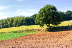 O verão colhe o campo e a árvore Fotos de Stock