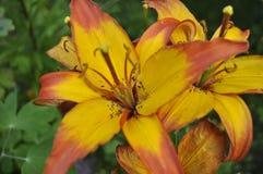 O verão floresce lírios Lírios alaranjados Imagens de Stock