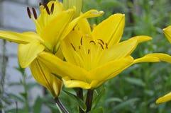 O verão floresce lírios Meu jardim Fotos de Stock Royalty Free