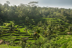 O verde coloca o arroz Imagem de Stock