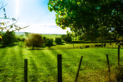 O verde coloca a terra da leiteria de Ohaupo Waikato Nova Zelândia NZ Fotografia de Stock Royalty Free
