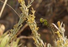 O verde colorido da libélula voada fotos de stock royalty free