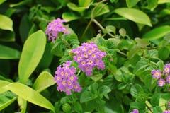 O verde cor-de-rosa e roxo da flor sae de plantas Fotos de Stock