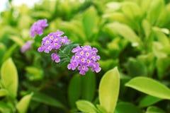 O verde cor-de-rosa e roxo da flor sae de plantas Imagem de Stock