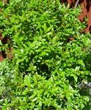 o verde da árvore de romã deixa a textura do fundo da folha imagens de stock royalty free