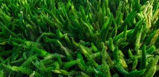 O verde da bandeira deixa arbustos, na luz brilhante do sol Fotografia de Stock
