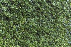 O verde da natureza deixa o fundo da parede Imagem de Stock Royalty Free