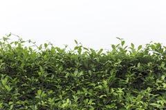 O verde da natureza deixa o fundo da parede Fotografia de Stock