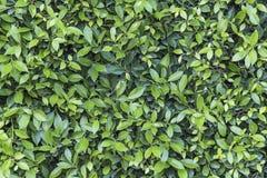 O verde da natureza deixa o fundo da parede Imagens de Stock
