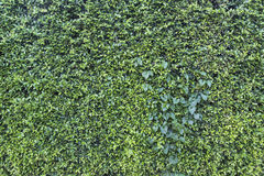 O verde da natureza deixa o fundo da parede Foto de Stock Royalty Free