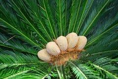 O verde da palma de Chicas deixa o fundo tropical abstrato Fotos de Stock Royalty Free