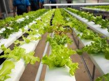 O verde da salada da hidroponia Imagem de Stock Royalty Free