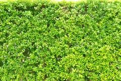 O verde da textura sae pequeno, as folhas da árvore do fundo, Foto de Stock