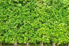 O verde da textura sae pequeno, as folhas da árvore do fundo, Fotografia de Stock Royalty Free