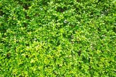 O verde da textura sae pequeno, as folhas da árvore do fundo, Imagem de Stock