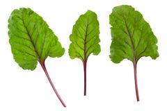 O verde das beterrabas sae, grupo fresco da folha da beterraba isolado no fundo branco com o trajeto de grampeamento Imagens de Stock